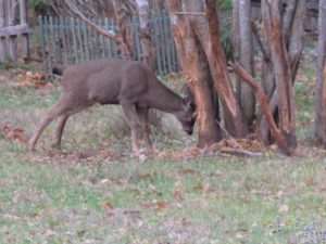 Deer can be very harmful to trees during mating season.