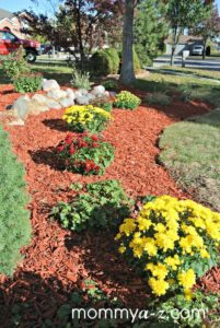mulch and mums